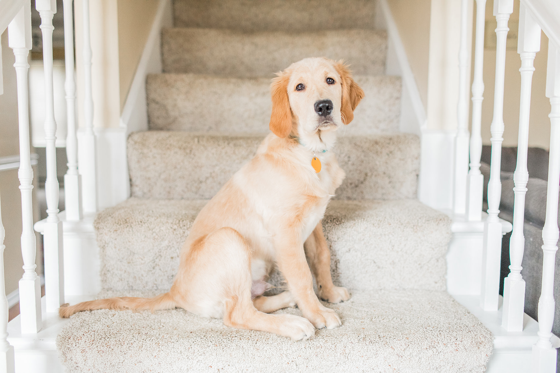 hayley-moore-photography-golden-retriever-puppy-fort-wayne-indiana-photographer